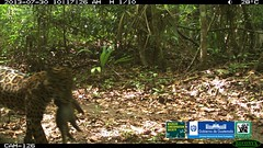 057 (fotografiasconap) Tags: guatemala vida animales silvestre biodiversidad wcs petn conap megadiversa