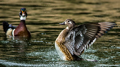Wood Duck Pair - 7325 (www.karltonhuberphotography.com) Tags: park light lake reflection nature water beautiful birds horizontal mystery morninglight wings pond action wildlife feathers ducks precious bathing southerncalifornia splash drake waterdrops drama hen naturalworld fascinating selectivefocus naturephotography woodducks 2015 birdphotography wildlifephotography irvineregionalpark woodduckpair woodduckaixsponsa fieldmarks nikond7000 karltonhuber