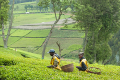 Kitabi Tea Processing Facility (World Bank Photo Collection) Tags: community rwanda growth agriculture economy development reform publicpolicy foodsecurity agriculturalinvestment economicplanninganddevelopment prioritydevelopment