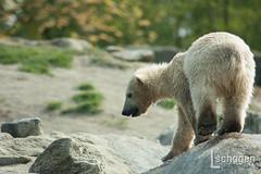 Polar bear (Lucy Schagen) Tags: holland animal animals zoo rotterdam blijdorp nederland thenetherlands polarbear polar dieren dier ijsbeer dierentuin diergaarde rotterdamzoo ijsberen babypolarbear