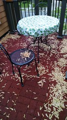 A porch full of maple seeds (livewombat) Tags: maple seed helicopter
