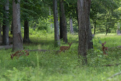 Pocahontas State Park (tom_profit) Tags: grass woods deer fawn grazing babydeer pocahontasstatepark