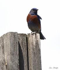 Western Bluebird (Sue D Sharpe) Tags: westernbluebird bluebird summerland britishcolumbia canada
