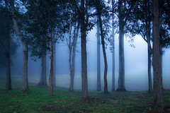 Fog retreating (Jutta Sund) Tags: fog trees morning