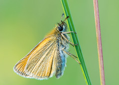 Essex skipper (Thymelicus lineola) at rest on grass (Ian Redding) Tags: uk nature grass fauna butterfly insect golden wings stem european wildlife meadow skipper underside rest british blade identification grassland invertebrate calcareous essexskipper hesperiidae thymelicuslineola