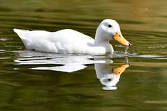 Little white duck. (pstone646) Tags: lake bird nature water closeup fauna reflections duck kent wildlife ashford