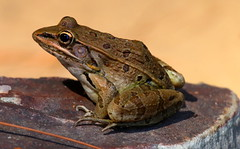 leopard frog (Shelby Townsend) Tags: frog
