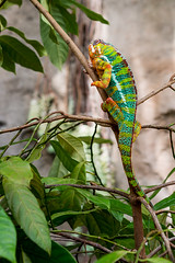Chameleon #3 (billd_48) Tags: ohio summer animals garden chameleon