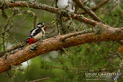 Great Spotted Woodpecker (Dendrocopos major) (gcampbellphoto) Tags: bird nature forest woodland scotland woodpecker wildlife avian greatspottedwoodpecker dendrocoposmajor gcampbellphoto