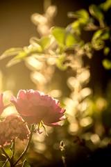 Early Morning Summer Mood (NathalieSt) Tags: exmes bassenormandie nature orne rose fleur flower bokeh