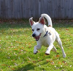 Shadow (blink182924) Tags: dog terrier jackrussell doggy