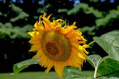 Sustainability... (knoxnc) Tags: summer plant sustainability sunflowerseed virginia tallplant nature flower foodsource large yellow nikon sunfloweroil d7200 largesunflower