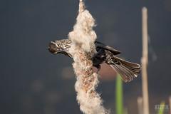 DSC_7580 (Keztik) Tags: bird female reeds reflex pond nikon  swamp dslr marais blackbird oiseau roseaux tang redwinged agelaius carouge quenouille stfrancois femelle phoeniceus d3200 paulettes