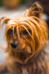 little buddy... (w3inc / Bill) Tags: alex yorkie 50mm nikon hss dogportrait d610 w3inc sliderssunday