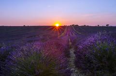 Derniers rayons de soleil (Philis.Nat) Tags: fleurs canon soleil coucher provence paysage lavande extrieur champ eos7d