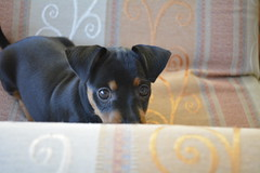 _DSC0002 (Andrea Marzano) Tags: pinscher dog cane nikon nikond5200 d5200