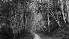 tall guardians of the path (lunaryuna) Tags: scotland highlands caingormsnationalpark forest woods birchtrees path davawalk summer season seasonalwonders landscape forestinterior trees blackwhite bw monochrome lunaryuna