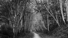 tall guardians of the path (lunaryuna) Tags: scotland highlands caingormsnationalpark forest woods birchtrees path davawalk summer season seasonalwonders landscape forestinterior trees blackwhite bw monochrome lunaryuna