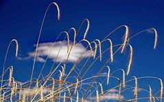 Bl, Blanc, Bleu (Ciceruacchio) Tags: bl wheat grano blanc white blanco nuage cloud nuvola bleu blue blu ciel sky cielo champ field campo t summer estate mdoc gironde aquitaine france francia frankreich nikond750