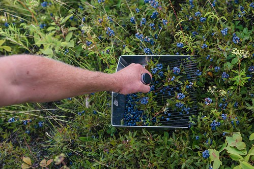 Harvesting Wild Blueberries