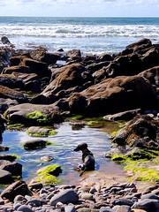 Minnie cooling off (Rob Hall -) Tags: reflection beauty beautiful sky clouds seaweed green resting hot waves uk cornwall geology pebbles stones sand beach coast warm sun rockpools rocks pools sea dog
