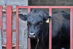 earl................. (Suzie Noble) Tags: bull strathglassearl pedigreeaberdeenangus aberdeenangusbull strathglass struy cattle
