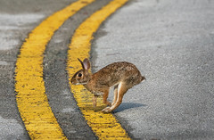 Photo finish bunny, going for the gold. (Jamie Felton Photo) Tags: summerolymics races gold winner bunny rabbit nature wildlife specanimal