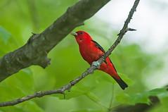 Big Red (martytdx) Tags: birding birds delawarewatergapnra hardwicktownship may nj oldmineroadiba tanager scarlettanager pirangaolivacea male piranga thraupidae lifelist