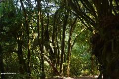 El Bosque del Cedro... (yayolorenzo) Tags: bosque del cedro