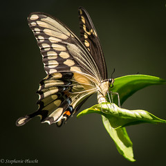 Giant Swallowtail (stephaniepluscht) Tags: alabama 2016 giant swallowtail papilio cresphontes lemon citrus tree ovipositing egg laying oviposit butterfly