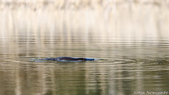_SLN9878 (sonja.newcombe) Tags: tid tidbinbilla australia canberra wildlife platypus nikon d7000 sigmalens