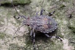 20160815-_MG_0712 (shirl6900) Tags: 18aug2016 40d dcr250 macro scutelleridae shieldbackedbug tamron90mmf28