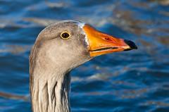 (JOAO DE BARROS) Tags: barros joo goose portrait animal bird