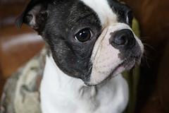 vinnie (MidWorldMo) Tags: vinnie americanbulldog dog bulldog closeup focus foreground background bokeh sushi fish salmon tuna otoro bullring indoor market dish colour sony sonya6000 a6000 birmingham