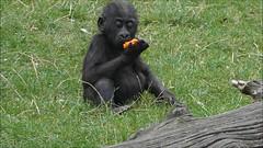 Gorilla Baby Anandi  (BrigitteE1) Tags: erlebniszoohannover gorilla baby westlicherflachlandgorilla lowlandgorilla gorillagorillagorilla zoo deutschland hanover germany video anandi glck gorillababyanandi