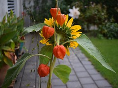 Bouqet Sunflower and Lampion 18.09 (6) (tabbynera) Tags: bouquet sunflower lampion