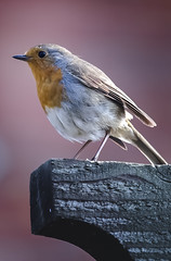 I Remember That (Prefab Sprout) (Neil B's) Tags: prefab sprout robin red breast bird summer sun song