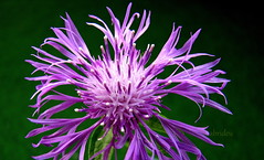 Cornflower (abrideu) Tags: abrideu canon bright flower depthoffield macro purple cornflower outdoor wildflower plant bokeh ngc