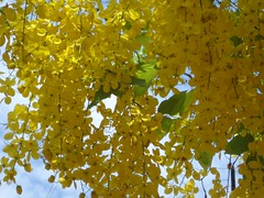 Golden Shower Tree (Cassia fistula) (Anulal's Photos) Tags: flowers vishu goldenshower konnappoo amaltas raela bahava vishukani indianlaburnum kanikonna kanikkonna ratchaphruek bendralathi dhanbaher konrai garmalo keralaflower kakke keralastateflower sunari goldenshowercassia sonalu kaniflower aragvadha konnaflower konaflower vishukonna stateflowerofkerala bandarlathi kritamala chaturangula suvarnaka vishupoovu karnikaram bandarlauri dhanbohar girimaloah anikkonna ophirpponnu vishupoo kanipoov vishuflower konakani flowervishu