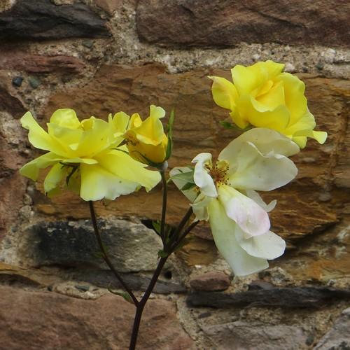 Les roses jaunes, abbaye gothique de Melrose (XIIIe), Melrose, Scottish Borders, Ecosse, Royaume-Uni.