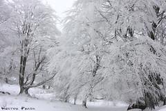 Icy Forest (Hector Prada) Tags: bosque invierno vasco hielo euskadi pais cencellada hayedo