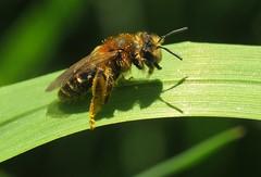 Andrena dorsata f - 13 IV 2015 (el.gritche) Tags: hymenoptera france 32 andrenidae andrena dorsata andrenadorsata taraxacum bee abeille