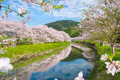 Japan Spring in Full Bloom! [Explore] (-TommyTsutsui- [nextBlessing]) Tags: pink blue flower tree green nature japan river cherry spring nikon blossom  sakura  izu  someiyoshino    matsuzaki sigma1020  onsalegettyimages