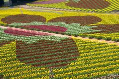 Flower Drawing () (Toshimo1123) Tags: flower japan spring tulip   sera kogen      nozyo