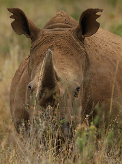 Hiding in the grass! (Rainbirder) Tags: kenya whiterhinoceros ceratotheriumsimum nairobinationalpark rainbirder