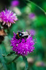 Beeave (robdphotographer) Tags: uk macro digital canon photographer wildlife bees yorkshire leeds insects bee photoblog digitalphotography canon500d canonphotography leedswestyorkshire ukinsects eoskissx3 eosrebelt1i follow4follow like4like robdphotographer