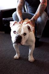 Tunnan (alindinlarsson) Tags: dog color cute eye colors nose spring eyes sweden ears bulldog karlstad hund april sverige englishbulldog paws nos färg vår färger söt öga bergslagen öron ögon öra tassar engelskbulldog