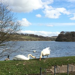 Photo of Swans!
