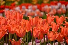 (armykat) Tags: flowers floral tulips longwoodgardens natureycrap kennettsquarepennsylvania tulipalooza2015
