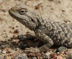 Agama portrait (Wild Chroma) Tags: portrait lizard kazakhstan plain agama sogeti charyn agamaagama